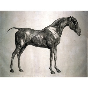 George Stubbs an engraving from The Anatomy of the Horse
