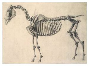 George Stubbs Skeleton of a Horse
