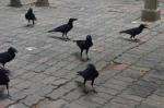 photo-ravens 1