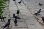 photo-ravens 3