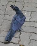 photo-ravens 6