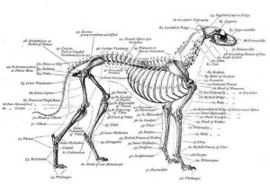 Skeletal Structure of a Greyhound