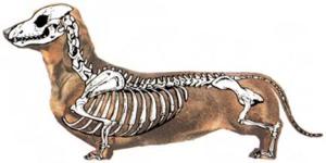 Skeletal Sttructure of a Daschund